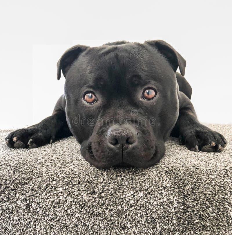 Netter schwarzer Staffordshire-Bullterrierhund, der auf der Spitzentreppe mit Teppich liegt lizenzfreie stockbilder