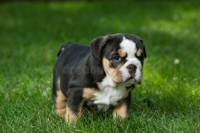 Netter schwarzer und brauner geknitterter Bulldoggenwelpe im Gras, in der Stellung und nach rechts in gegenüberstellen stockfotografie