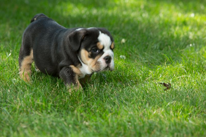 Netter schwarzer und brauner geknitterter Bulldoggenwelpe im Gras, in der Stellung und nach rechts in gegenüberstellen lizenzfreie stockbilder