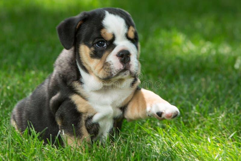 Netter schwarzer und brauner geknitterter Bulldoggenwelpe im Gras, in der Stellung und nach rechts in gegenüberstellen stockbilder