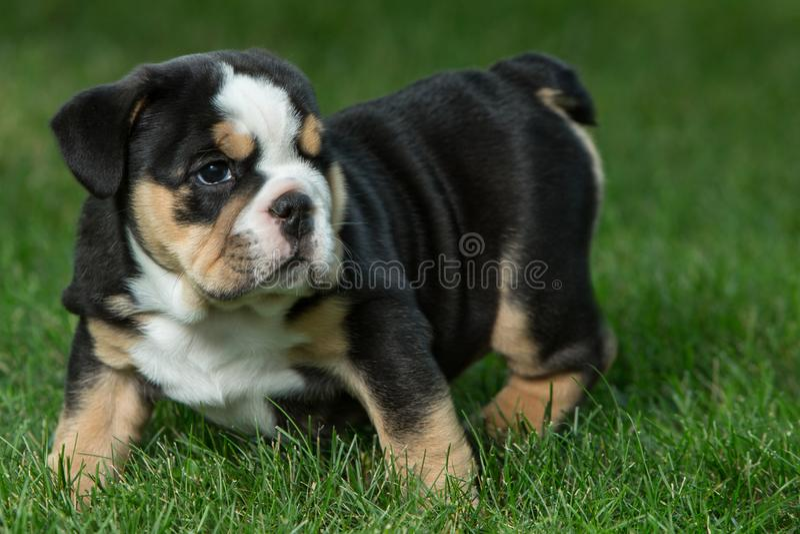 Netter schwarzer und brauner geknitterter Bulldoggenwelpe im Gras, in der Stellung und nach rechts in gegenüberstellen lizenzfreie stockfotos