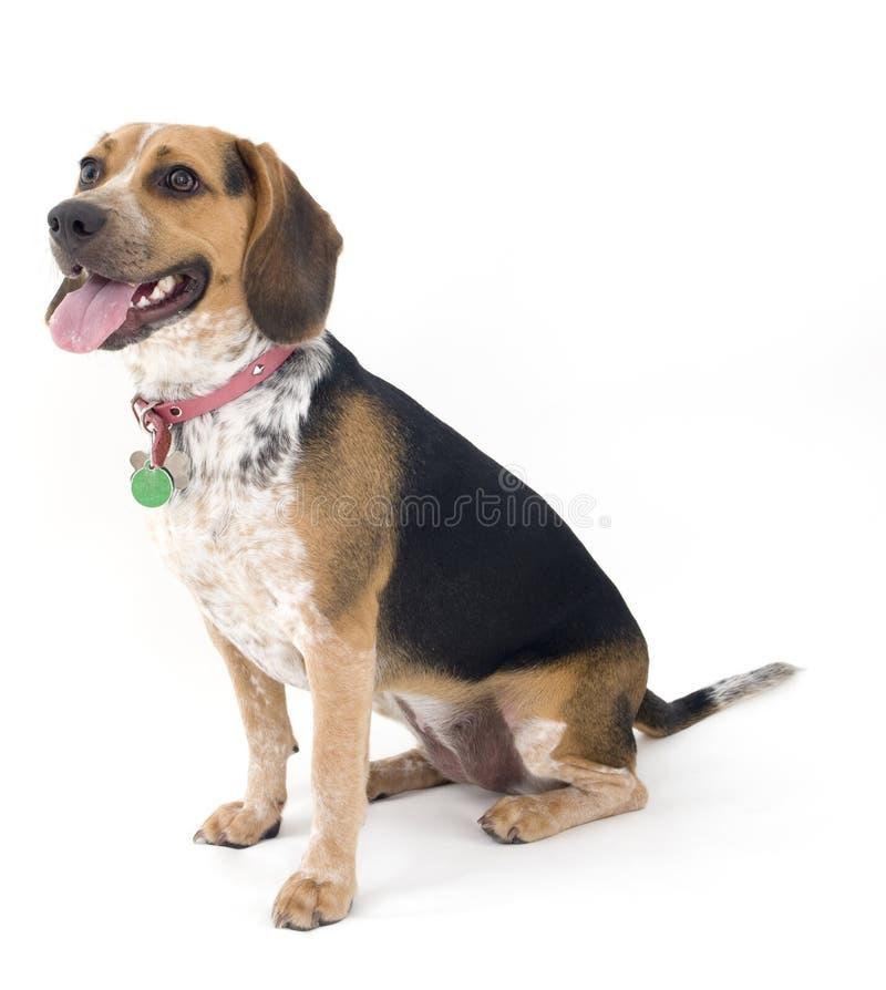 Netter Spürhund lizenzfreie stockfotos