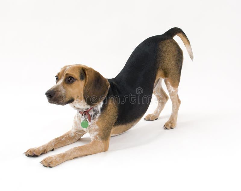 Netter Spürhund stockfotografie