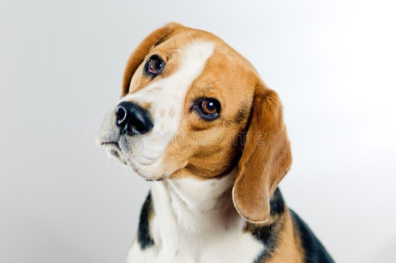 Netter Spürhund stockbilder