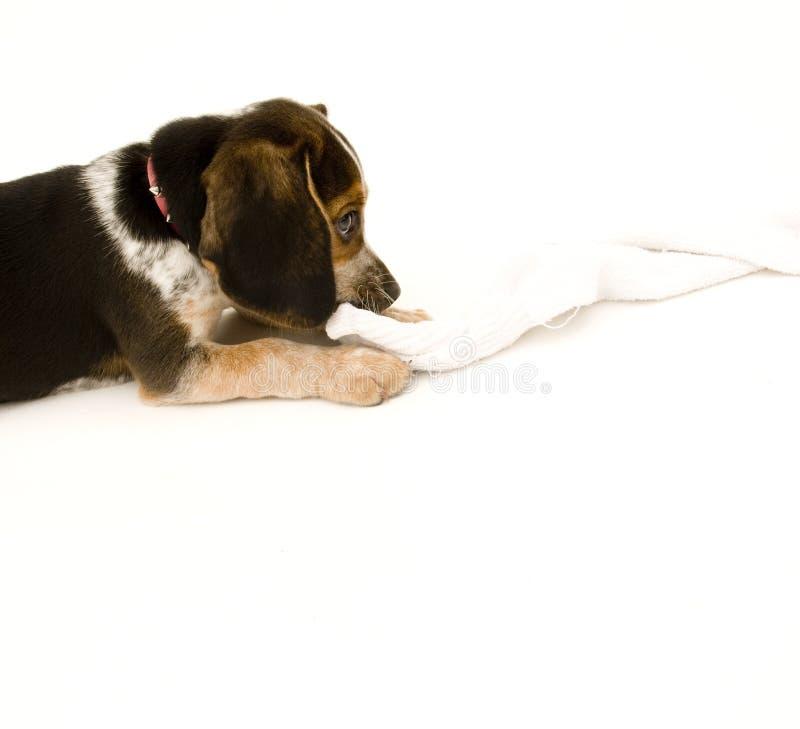 Netter Spürhund, der auf Socke kaut stockbilder