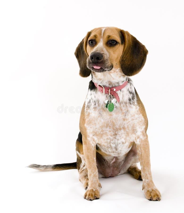 Netter Spürhund, der heraus Zunge haftet stockfoto