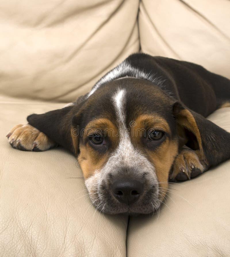 Netter Spürhund mit ausdrucksvollem Gesicht lizenzfreie stockbilder
