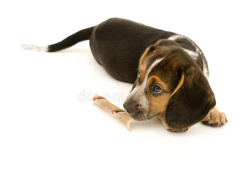 Netter Spürhund-riechende Festlichkeit lizenzfreie stockbilder