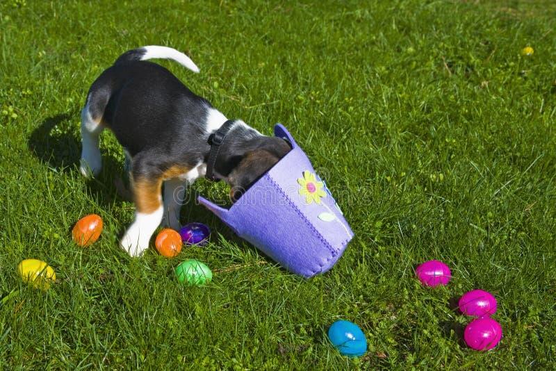 Netter Spürhund-Welpe mit Ostern-Korb stockfoto