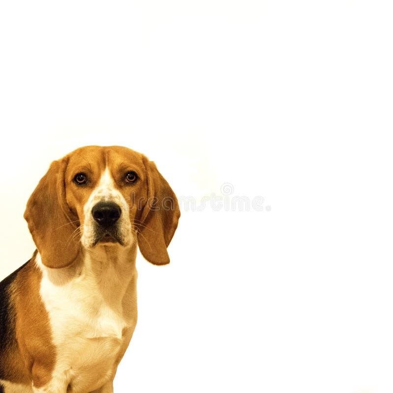 Netter Spürhundhund auf leerem weißem Hintergrund stockfotos