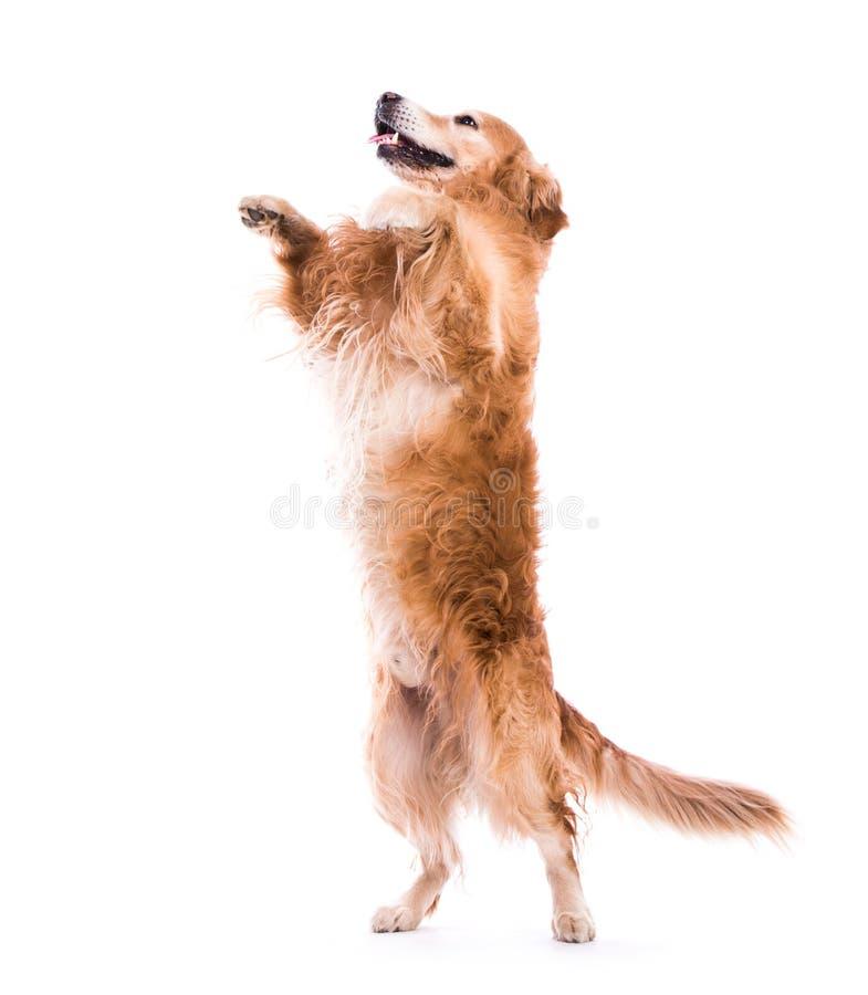Netter springender Hund - über ein weißes backgorund lizenzfreies stockbild