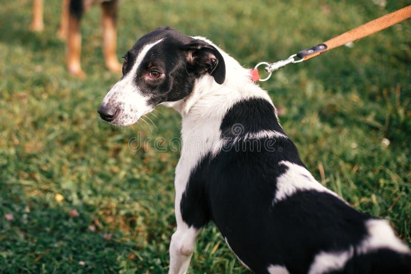 Netter Streuschwarzweiss-Hund, der im grünen Sommerpark geht und spielt Gr?ne Pfeile auf Grey Background Indicate die Richtung Re stockbild