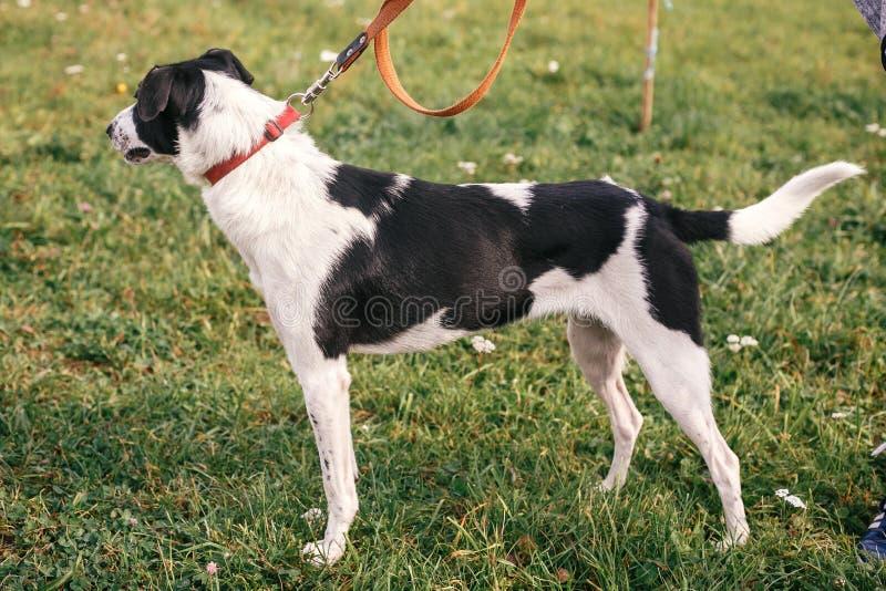 Netter Streuschwarzweiss-Hund, der im grünen Sommerpark geht und spielt Gr?ne Pfeile auf Grey Background Indicate die Richtung Re lizenzfreie stockfotos
