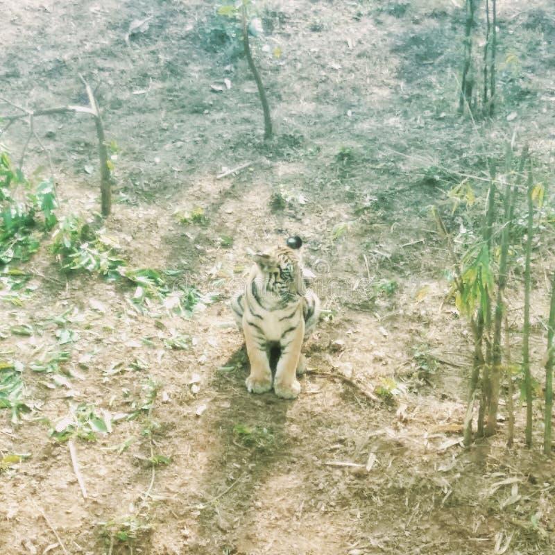 Netter Tiger lizenzfreie stockbilder