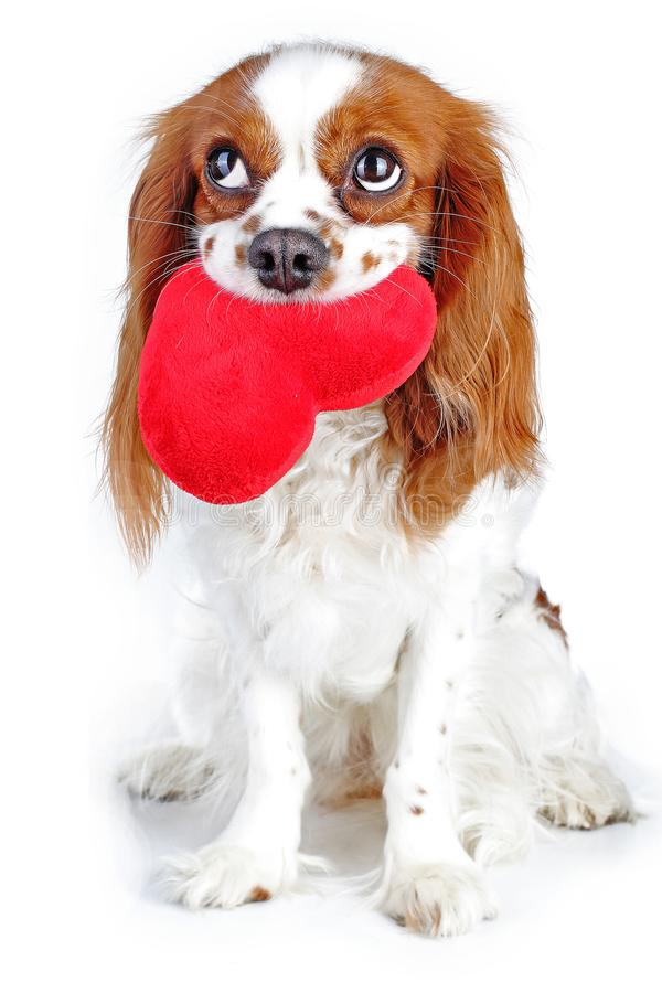 Netter unbekümmerter Spaniel-Hundewelpe Königs Charles auf lokalisiertem weißem Studiohintergrund Hundewelpe mit großem Herzen de stockfotos