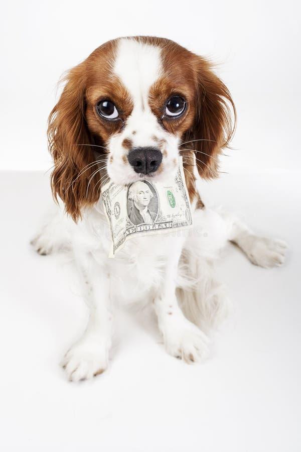 Netter unbekümmerter Spaniel-Hundewelpe Königs Charles auf weißem Studiohintergrund Hundewelpe mit GeldDollarschein stockbilder