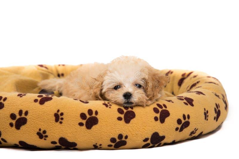 Netter und neugieriger Pudelwelpe, der auf ihrem Bett stillsteht lizenzfreies stockfoto