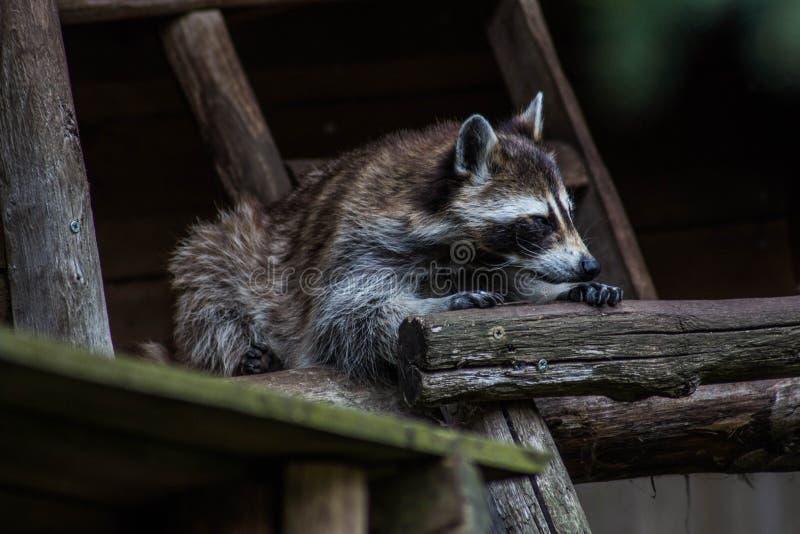 Netter Waschbär, der in seinem Schutz stillsteht lizenzfreie stockfotos