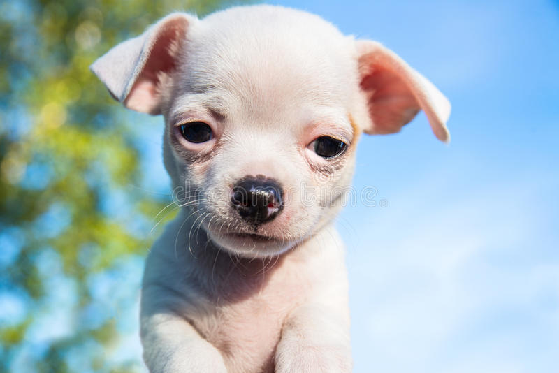 Netter weißer Chihuahuawelpe, der gerade die Kamera untersucht lizenzfreie stockfotos