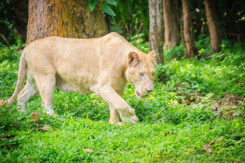 Netter weißer Löwe (Panthera Löwe), eine der Großkatzen in der Klasse lizenzfreie stockfotos