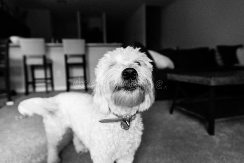 Netter weißer Mini Golden Doodle Puppy Dog mit dem weichen gelockten Pelz, der innerhalb des Hauptlächelns für Kamera-Porträt spi stockfoto