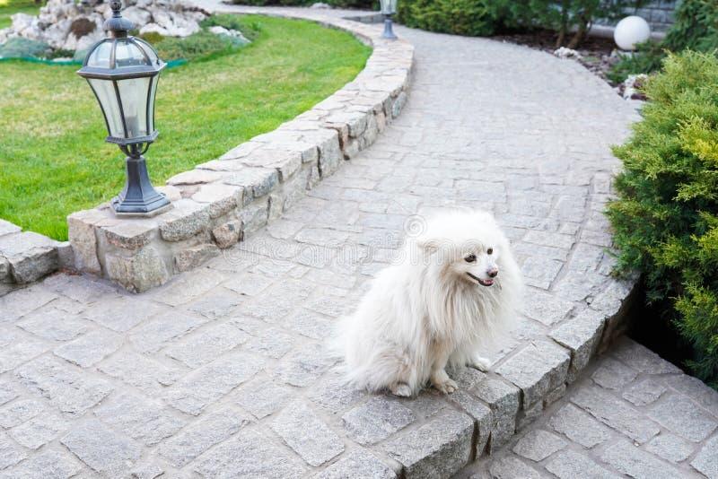 Netter weißer Spitzhund, der in den Park am warmen Frühlingstag geht Alter Labrador-Apportierhund kaut Baumprotokoll lizenzfreies stockbild