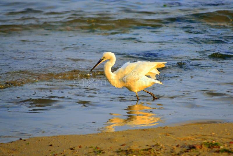 Netter weißer Vogel, der in das Meer geht lizenzfreies stockbild