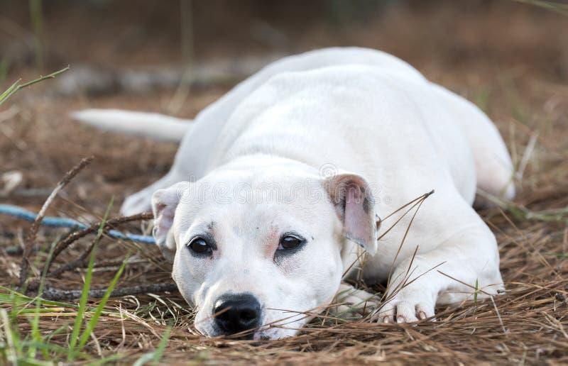 Netter weiblicher weißer Pit Bull Terrier-Hund, der Endstück wedelnd niederlegt lizenzfreies stockbild