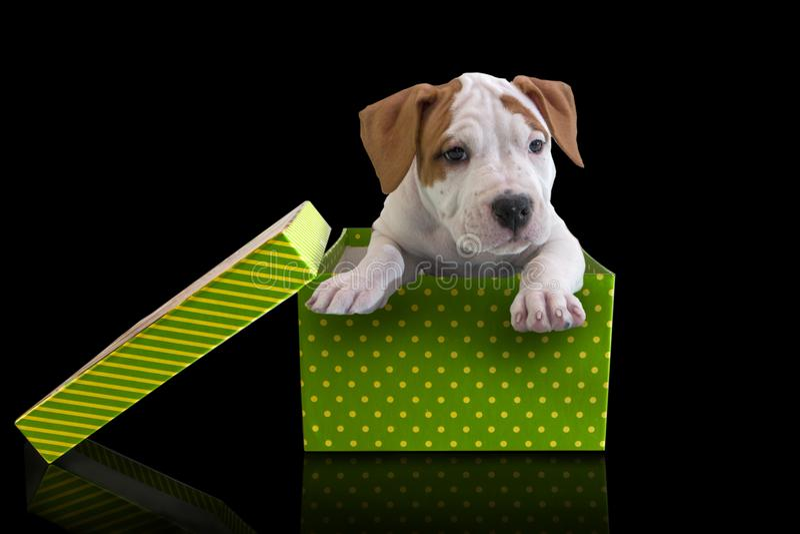 Netter Welpe American Staffordshire Terrier im grünen giftbox mit Deckel auf einem schwarzen Hintergrund lizenzfreie stockfotos