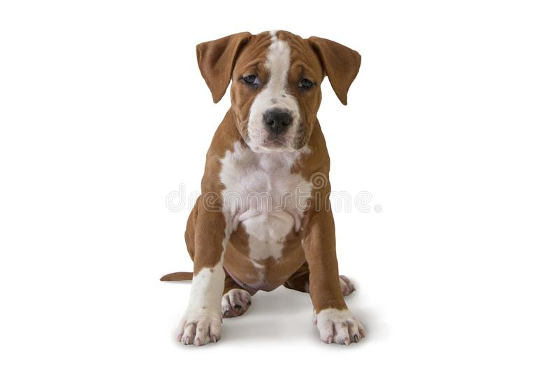 Netter Welpe American Staffordshire Terrier lokalisiert auf weißem Hintergrund, Nahaufnahme lizenzfreie stockfotos