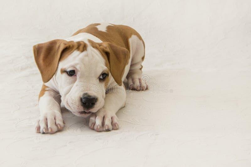 Netter Welpe American Staffordshire Terrier lokalisiert auf weißem Hintergrund Nahaufnahme mit Raum für Kopie lizenzfreies stockfoto