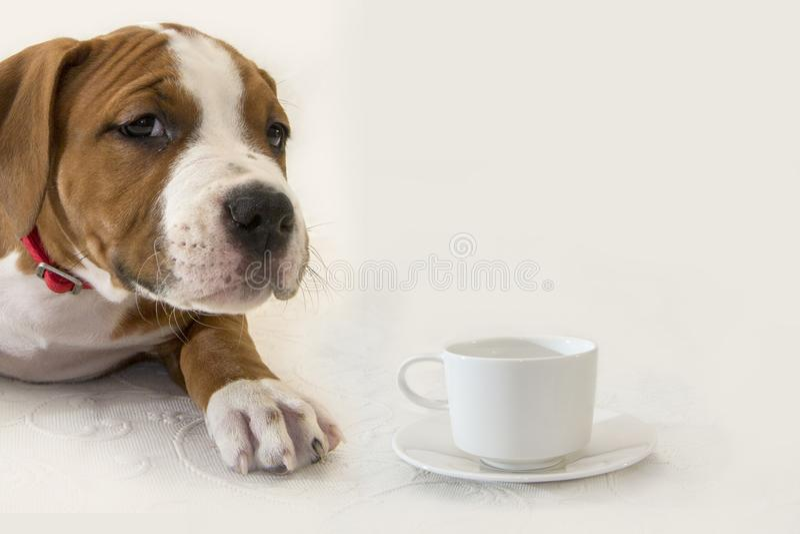 Netter Welpe American Staffordshire Terrier mit einem Tasse Kaffee/Tee lokalisiert auf weißem Hintergrund lizenzfreie stockfotografie