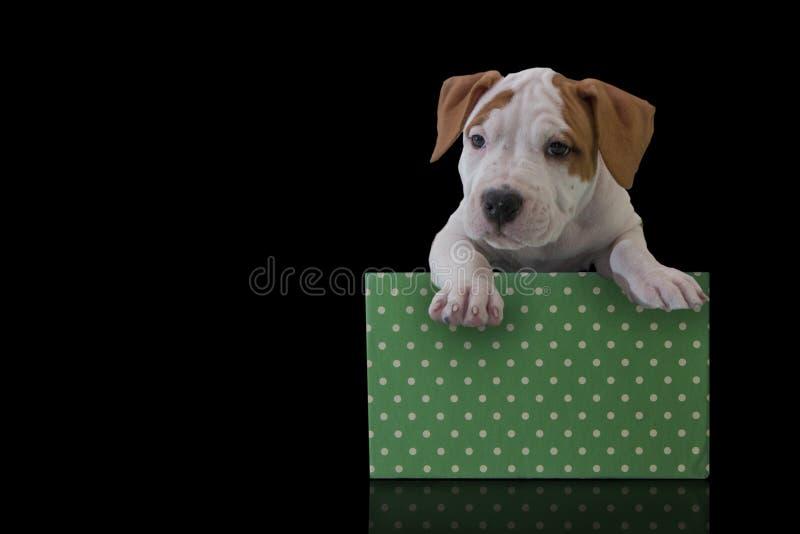 Netter Welpe American Staffordshire Terrier mit grüner Geschenkbox auf einem schwarzen Hintergrund lizenzfreie stockfotos