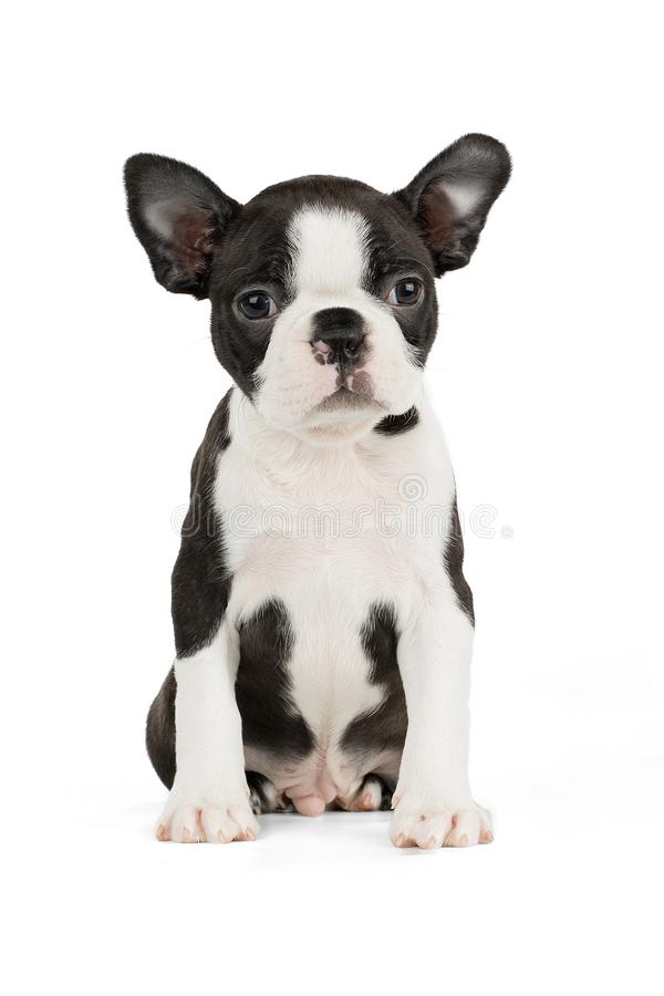 Netter Welpe Boston Terrier lizenzfreies stockbild