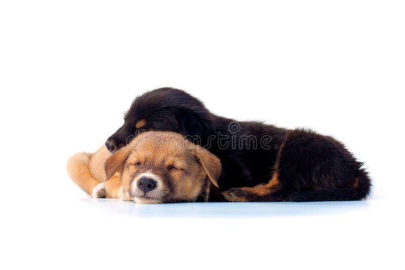 Netter Welpe, der auf weißem Hintergrund schläft stockfotos