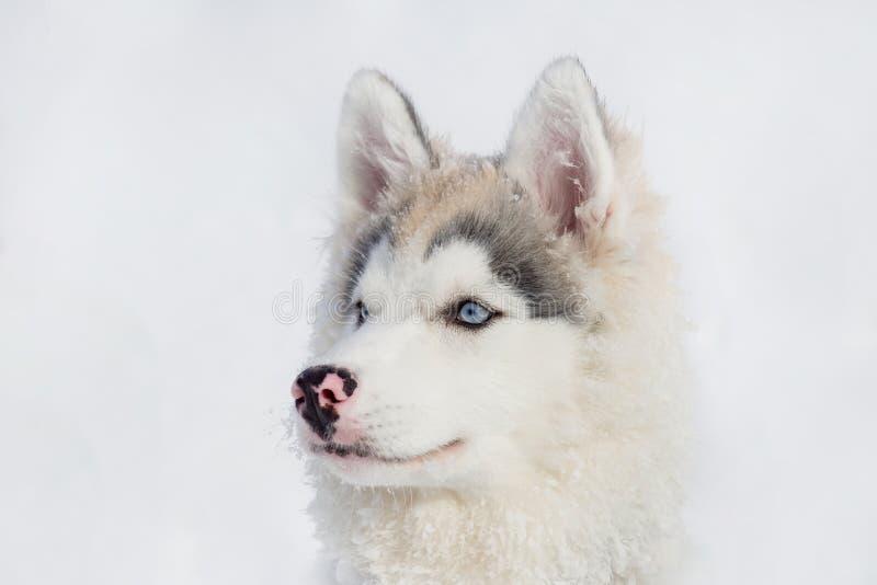 Netter Welpe des sibirischen Huskys auf einem weißen Hintergrund Dreimonatiges altes Heimtiere lizenzfreie stockfotografie