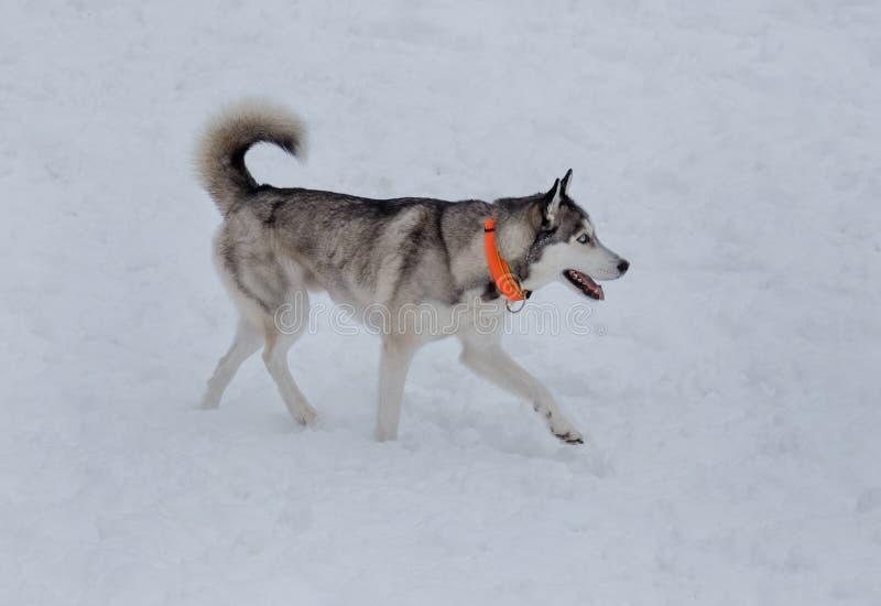 Netter Welpe des sibirischen Huskys geht auf einen weißen Schnee Heimtiere lizenzfreie stockfotografie