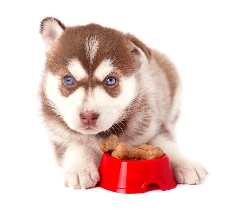 Netter Welpe des sibirischen Huskys mit roter Platte auf weißem Hintergrund lizenzfreie stockbilder