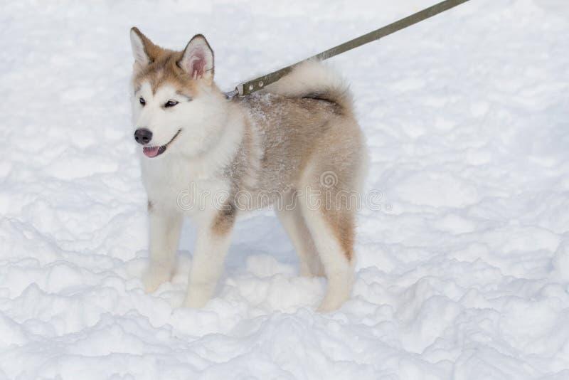 Netter Welpe des sibirischen Huskys steht auf dem weißen Schnee Zweimonatiges altes Heimtiere stockfotos
