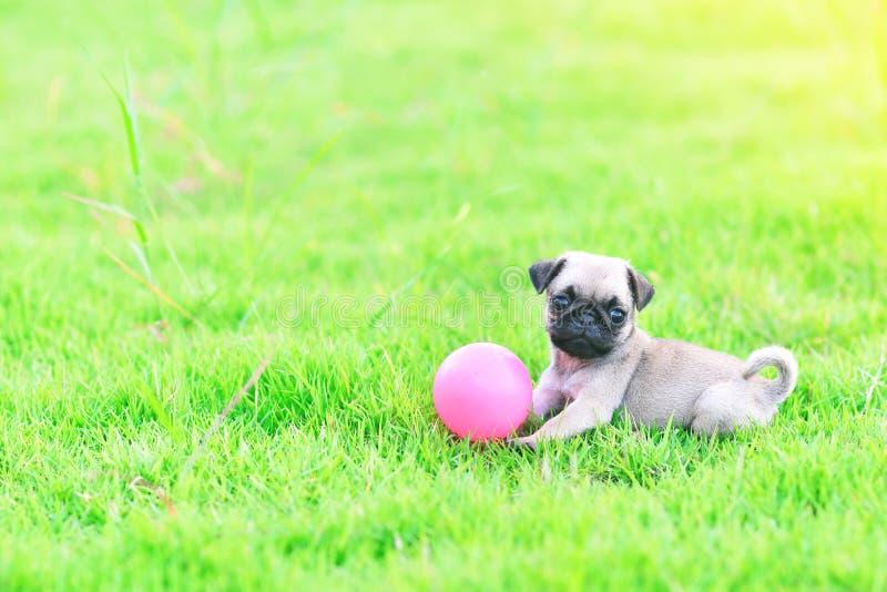 Netter Welpe Pug, der mit Ball spielt lizenzfreie stockbilder