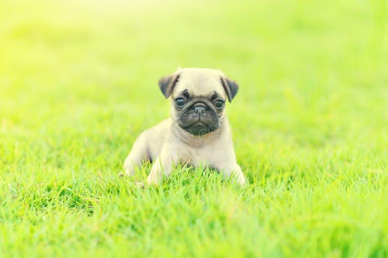 Netter Welpe Pug im Garten lizenzfreie stockfotografie
