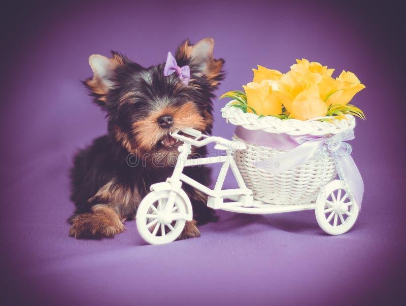 Netter Welpe Yorkshire-Terriers mit Blumen stockfoto