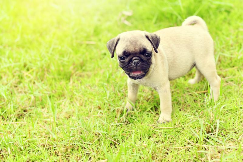 Netter Welpenbraun Pug im Garten lizenzfreie stockfotografie