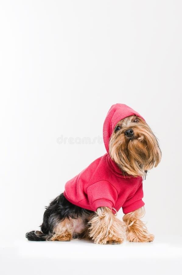 Netter Yorkshire-Terrier im rosafarbenen Pullover stockbild