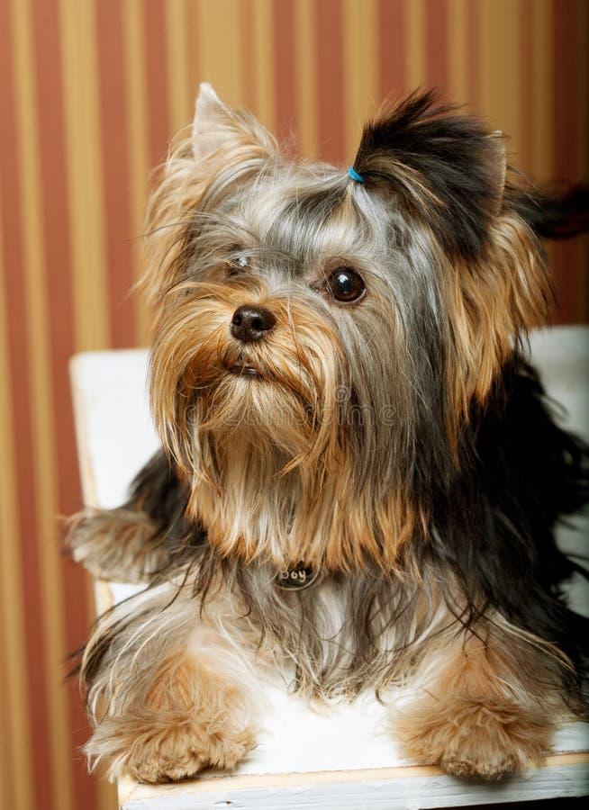 Netter Yorkshire-Terrier-Welpe stockfotos