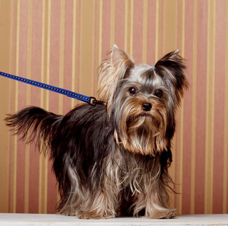 Netter Yorkshire-Terrier-Welpe lizenzfreies stockbild