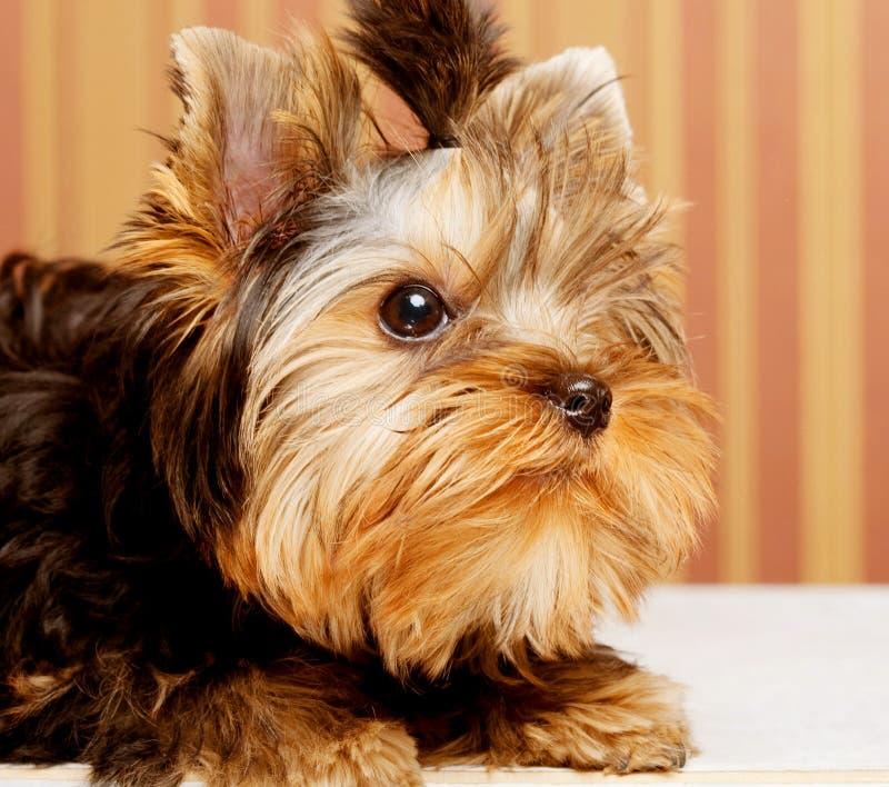 Netter Yorkshire-Terrier-Welpe lizenzfreie stockfotos