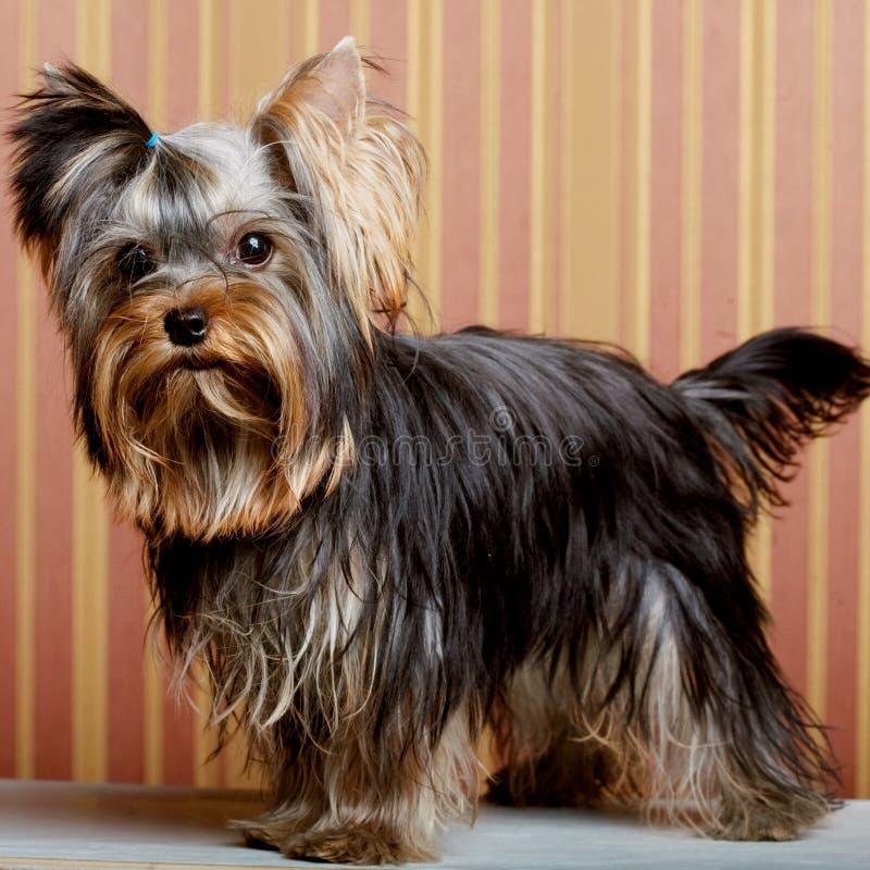 Netter Yorkshire-Terrier-Welpe lizenzfreie stockbilder