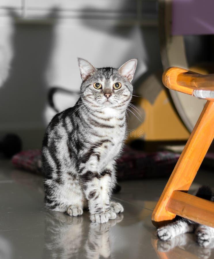 Nettes Amerikanisch Kurzhaar-Katzenkätzchen lizenzfreie stockfotos