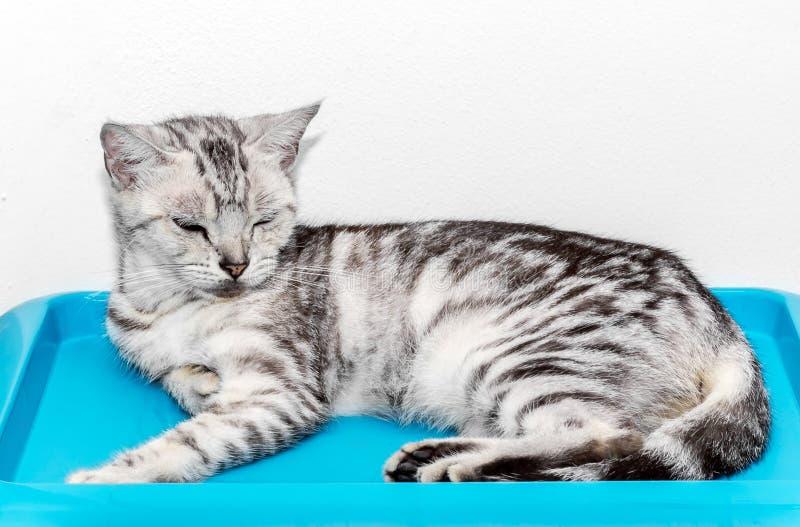 Nettes Amerikanisch Kurzhaar-Katzenkätzchen lizenzfreie stockfotografie